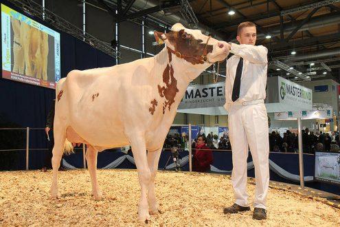 Krowa prezentowana na Targach EuroTier w Hanowerze