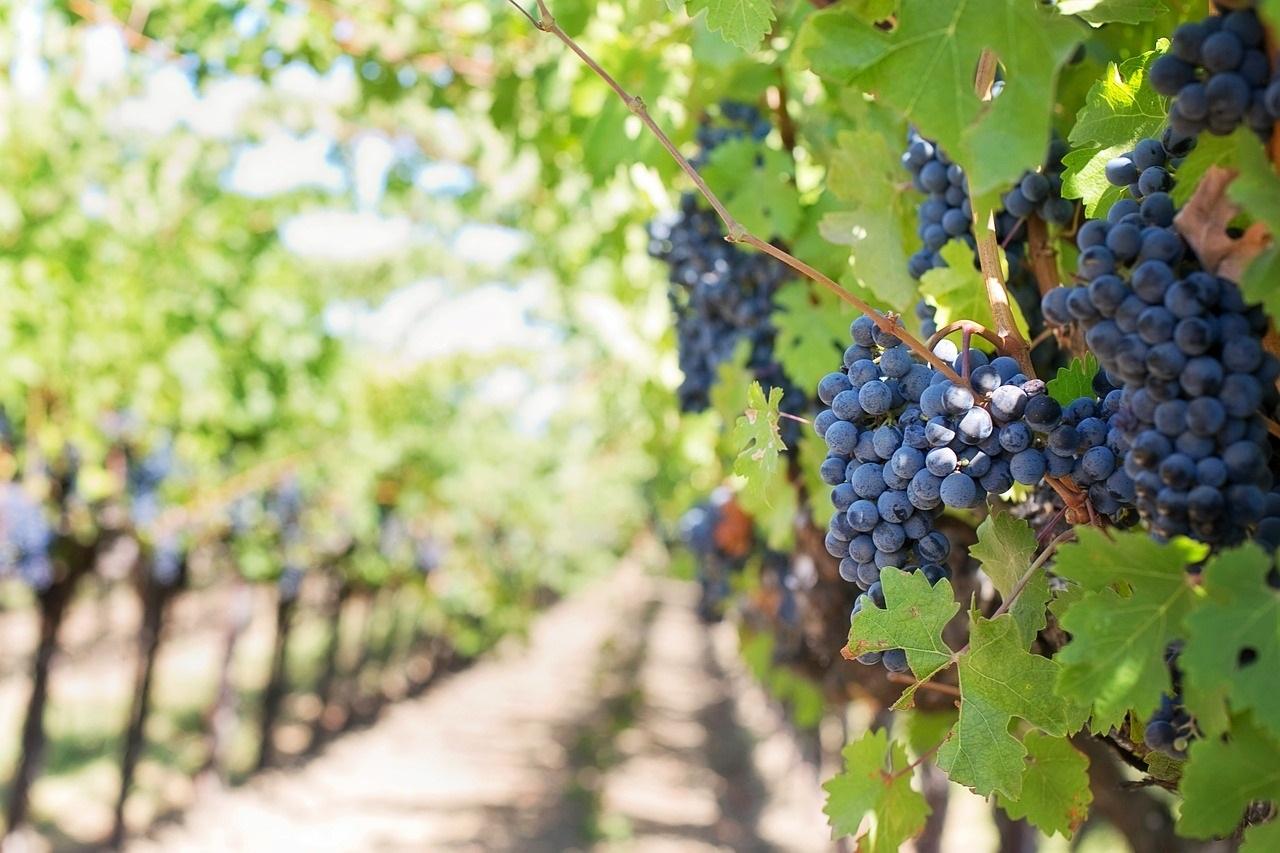 granatowe grona winogron na krzaku winorośli w winnicy